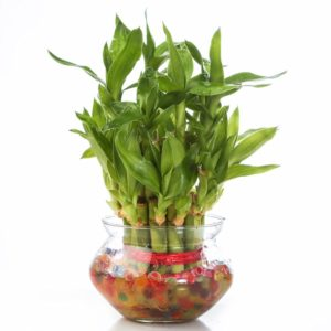 nurturing-green-lucky-bamboo-two-layer